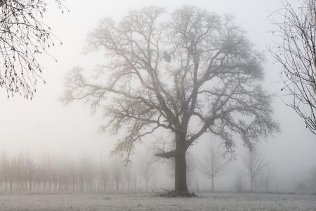 Oak Tree on a foggy morning, Oregon
