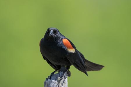 Oiseau (Carouge À Épaulettes) 739