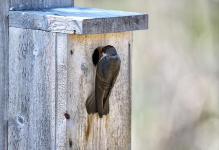 Oiseau (Hirondelle Bicolore) 302