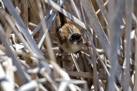 Oiseau (Troglodyte Des Marais) 280
