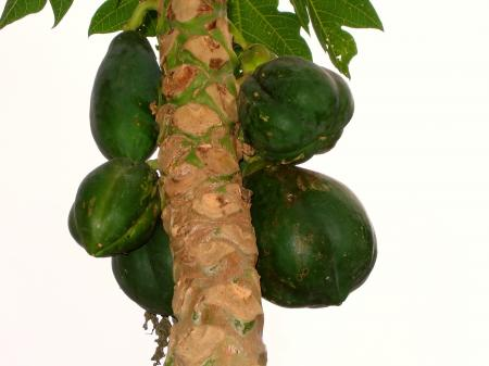 Papaya Tree with unripe fruit