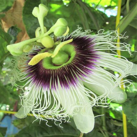 Passionflower Fruit