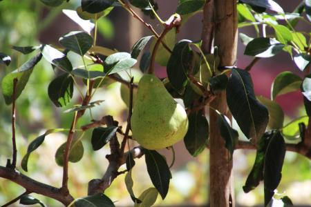 Pear ripening on the tree