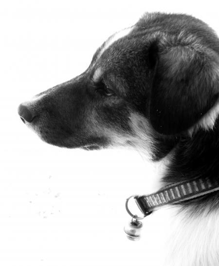 Pet Dog Black and White
