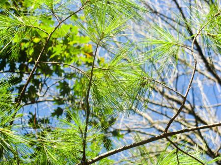 Pine Tree Leaves on Tree