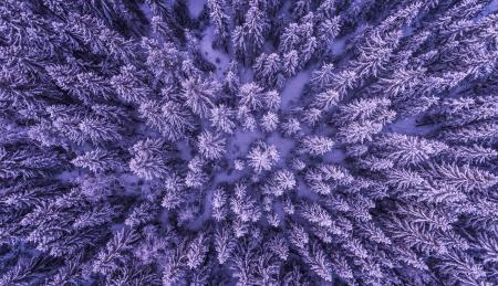 Pine Trees From Above