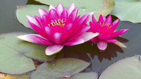 Pink and white Waterlily