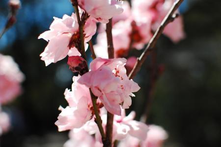 Pink Cherry Blossom Close-up