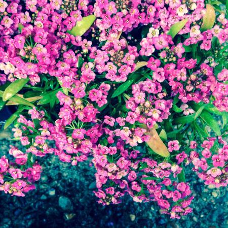 Pink Sweet Alyssum