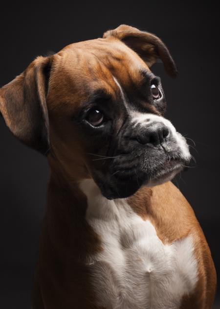 Portrait boxer dog