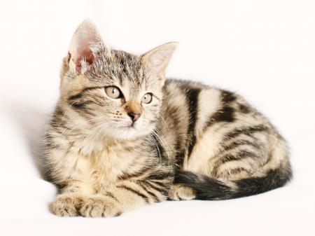White background cat, Pose, Animal
