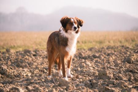 Scruffy Puppy Dog