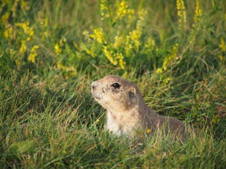 Prairie dog hiding