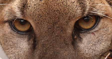 Puma Eyes