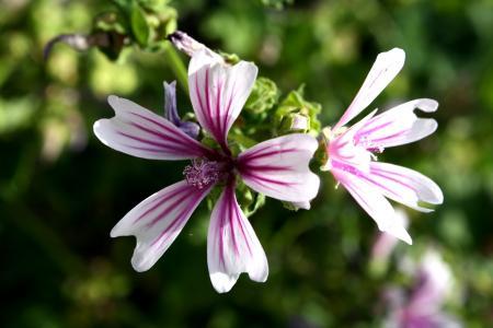 White Purple Flower