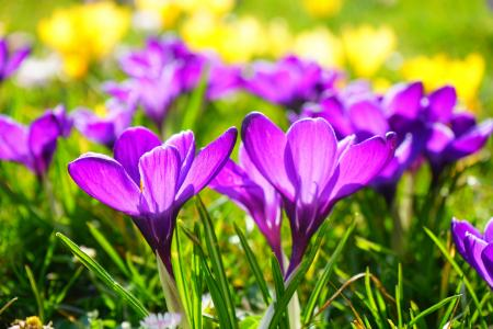 Purple Springtime Blossom