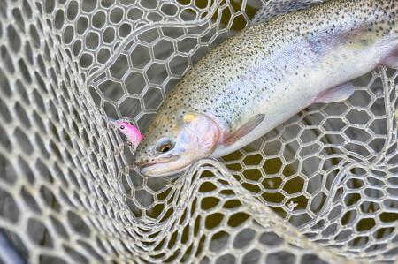 Rainbow trout in landing net