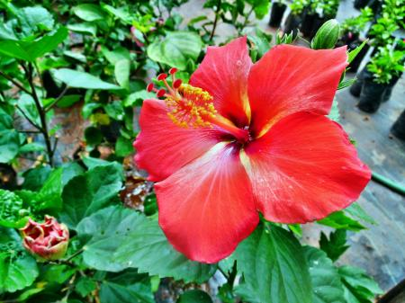 Red color Hibiscus rosa-sinensis flower