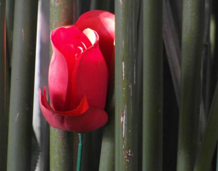 Red Rose in Bamboo