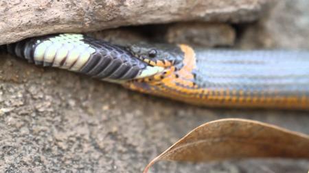 Snake eats itself
