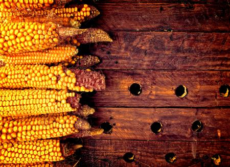 Rustic corn cobs on wooden background - Organic farming