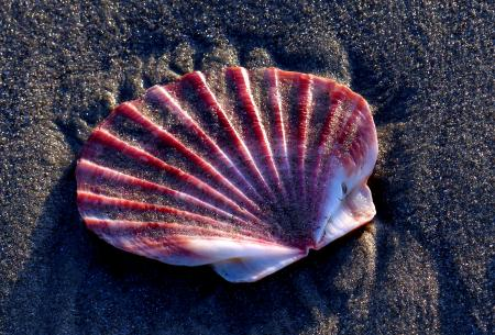 Scallop shell on the sands.