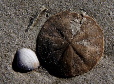 Sea Shells Sand dollar.