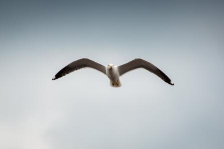 Seagull Flying High