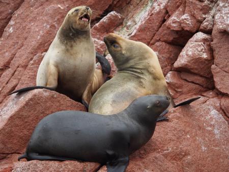 Seals on rock