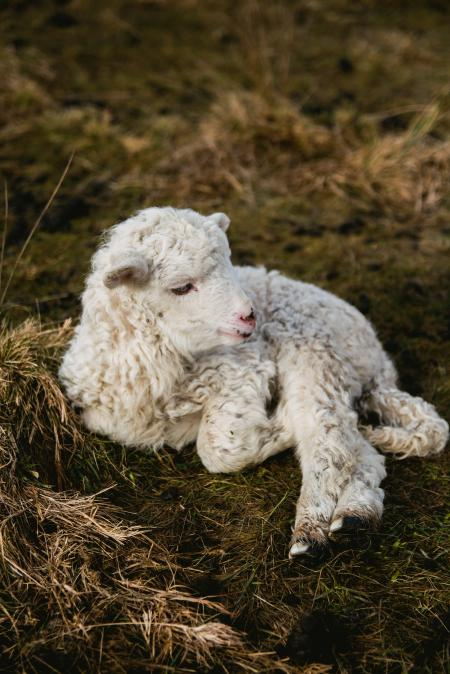Selective Photography of White Lamb on Hay