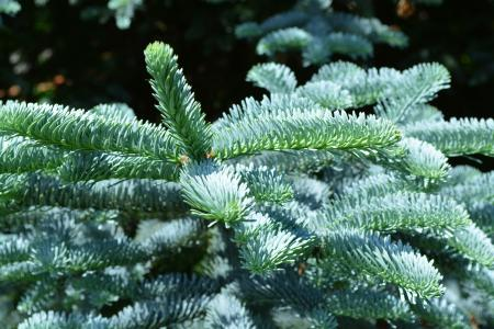 Silver fir tree branch