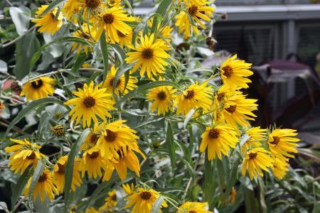 Single Mountain Sunflower