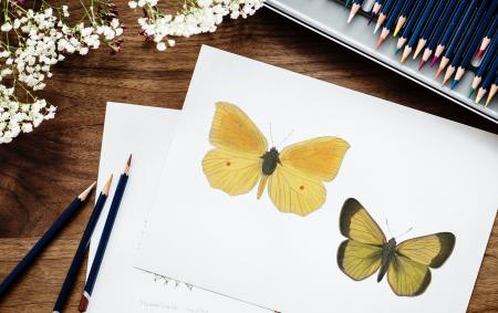 Sketch of Butterflies