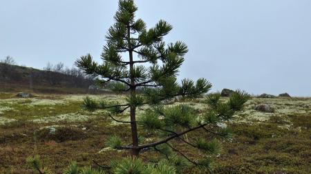 Small pine