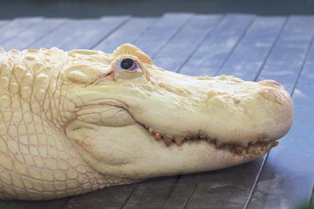 Smiling Alligators