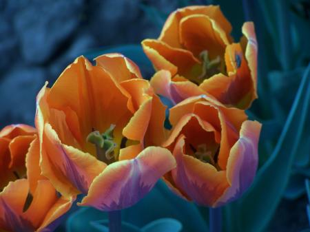 Special dutch tulips in spring