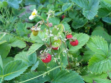 Strawberries, forest berry