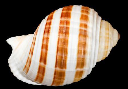 Striped Seashell