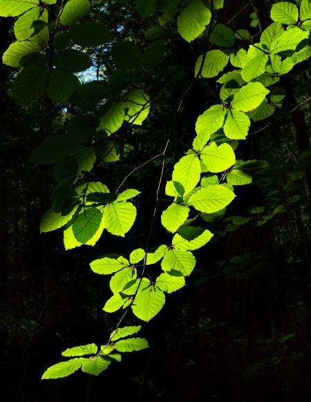 Sunlight on beech leaves in Gullmarsskogen ravine 3