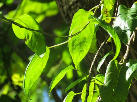 Sunlight on Green Ivy Leaves