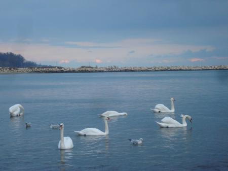 Swans at the Black Sea coast