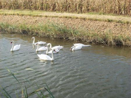 Swans in a channel