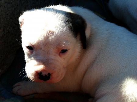 Takishi x Nina puppies