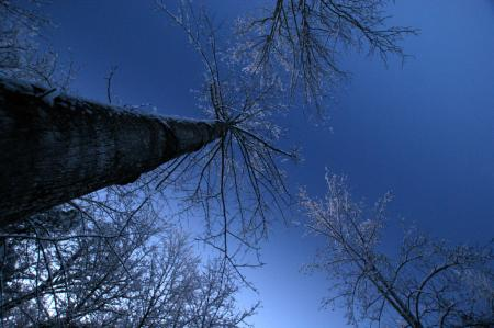Tall trees looking up to the morning sky