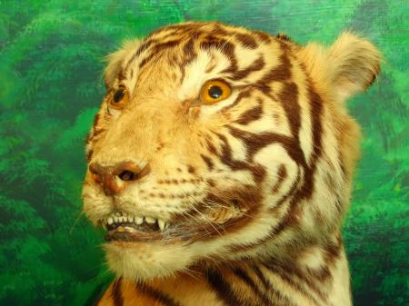 Taxidermy of a Tiger