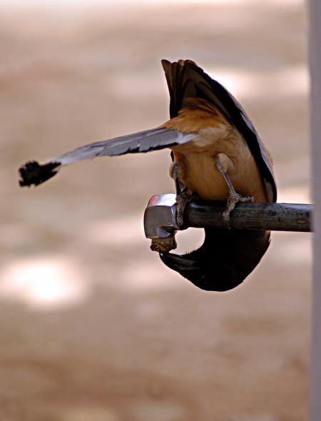 Thirsty bird