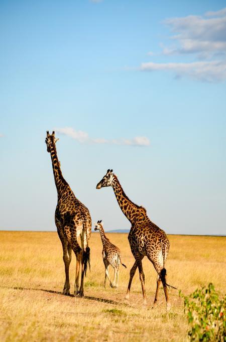 Three Brown-and-black Giraffes Walking
