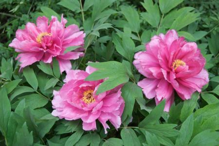 Three Pink Tree Peonies