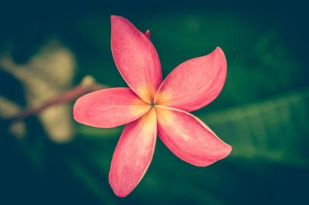 Tilt Shiftr Lens Photography of Pink Petal Flower