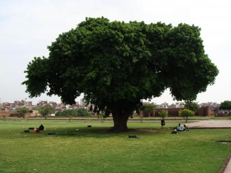 Tree by Lahore shahi fort